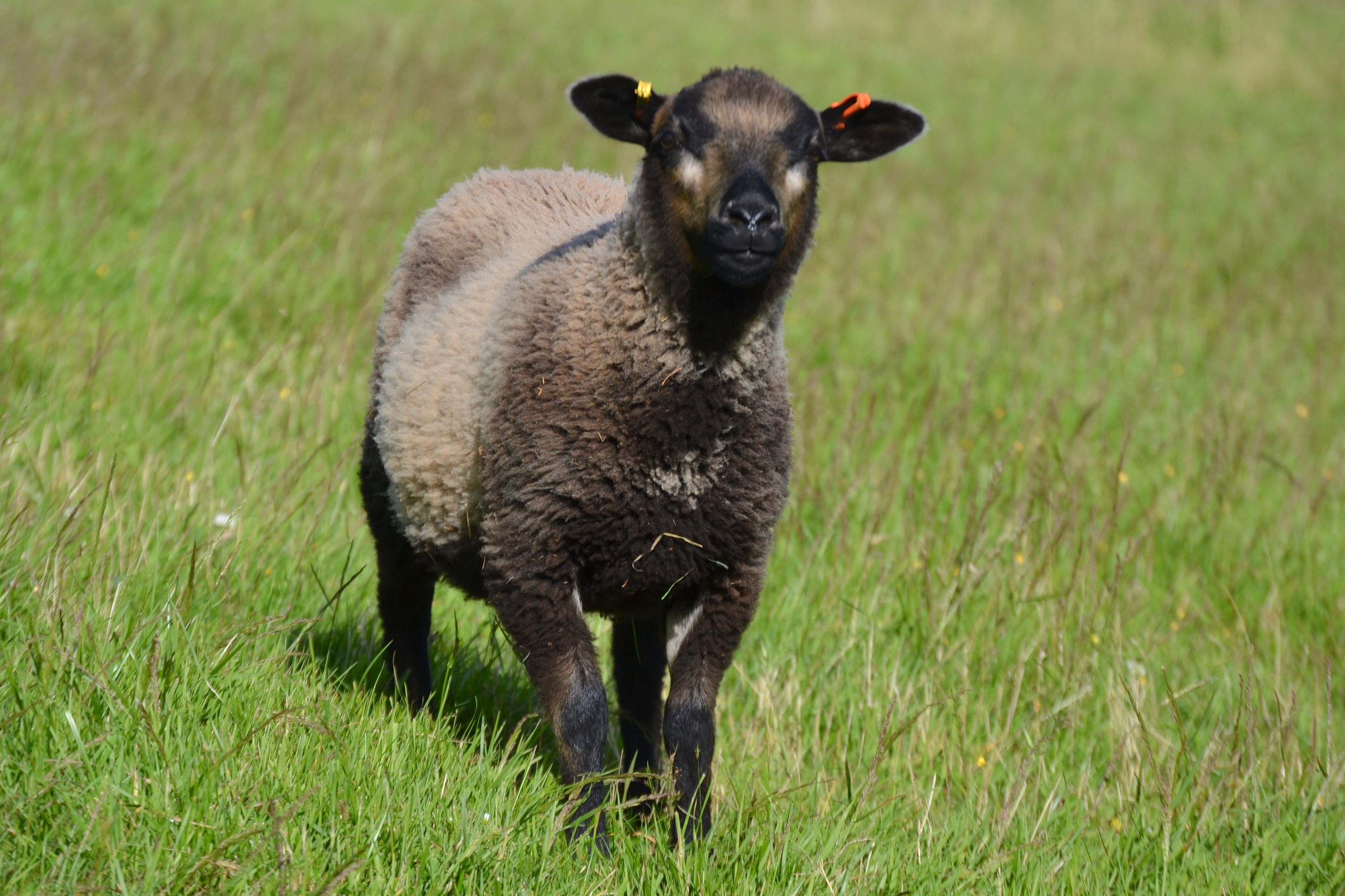 Hardicott Pedigree Shetlands, Shearling Ewes and Rams and Lambs for sale.
