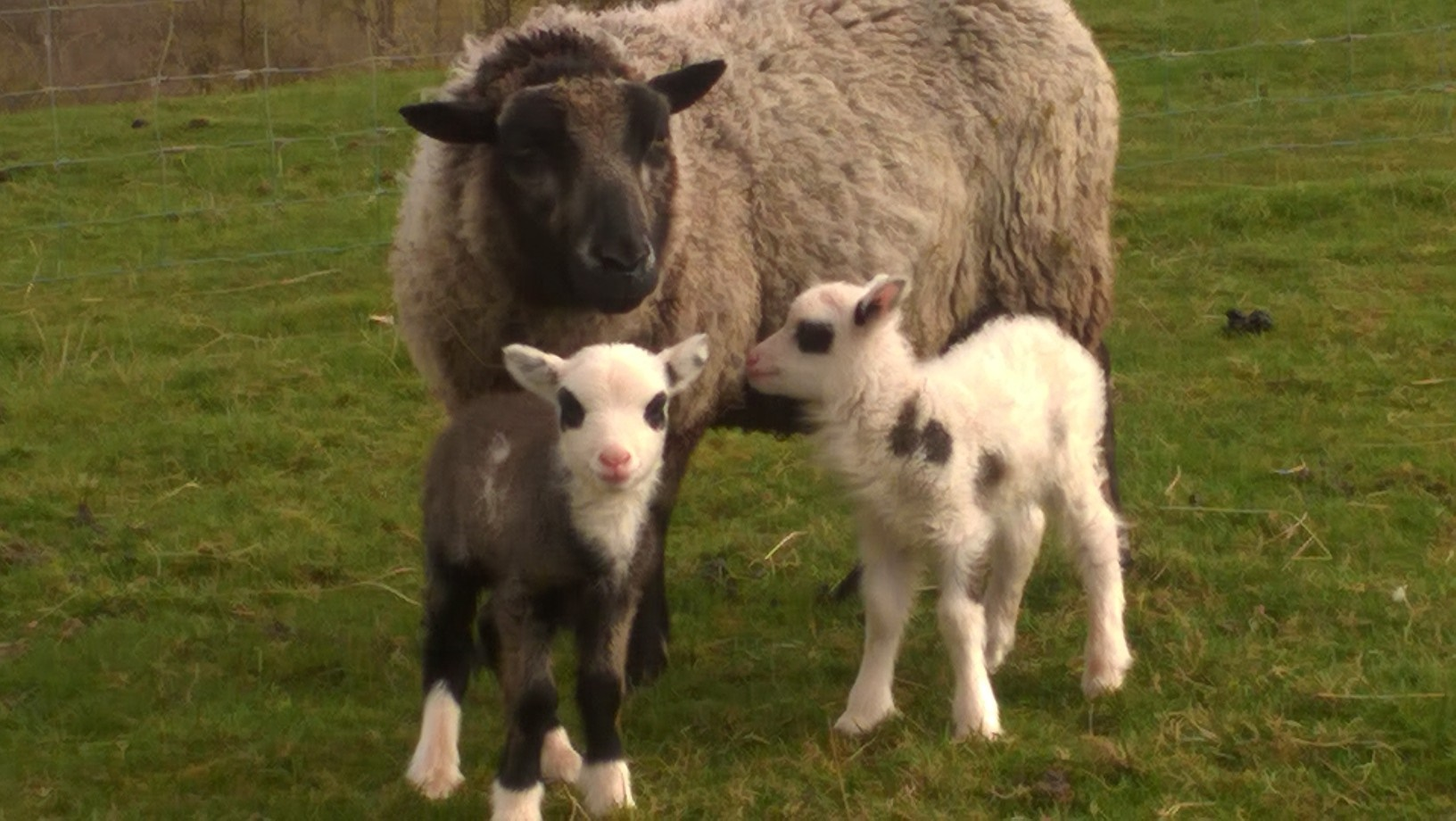 Bankend Pedigree Shetland Sheep for sale image 1