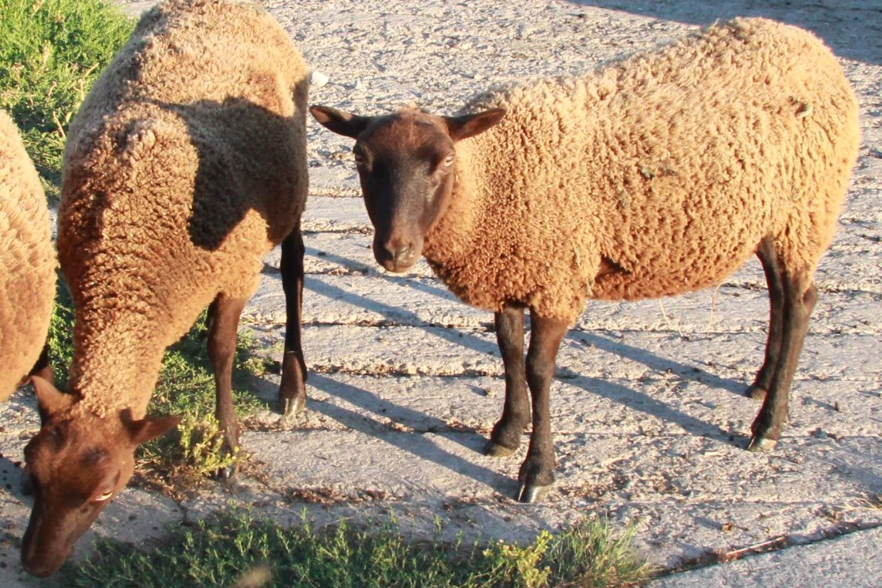 Hillend Black and Moorit yearling ewes