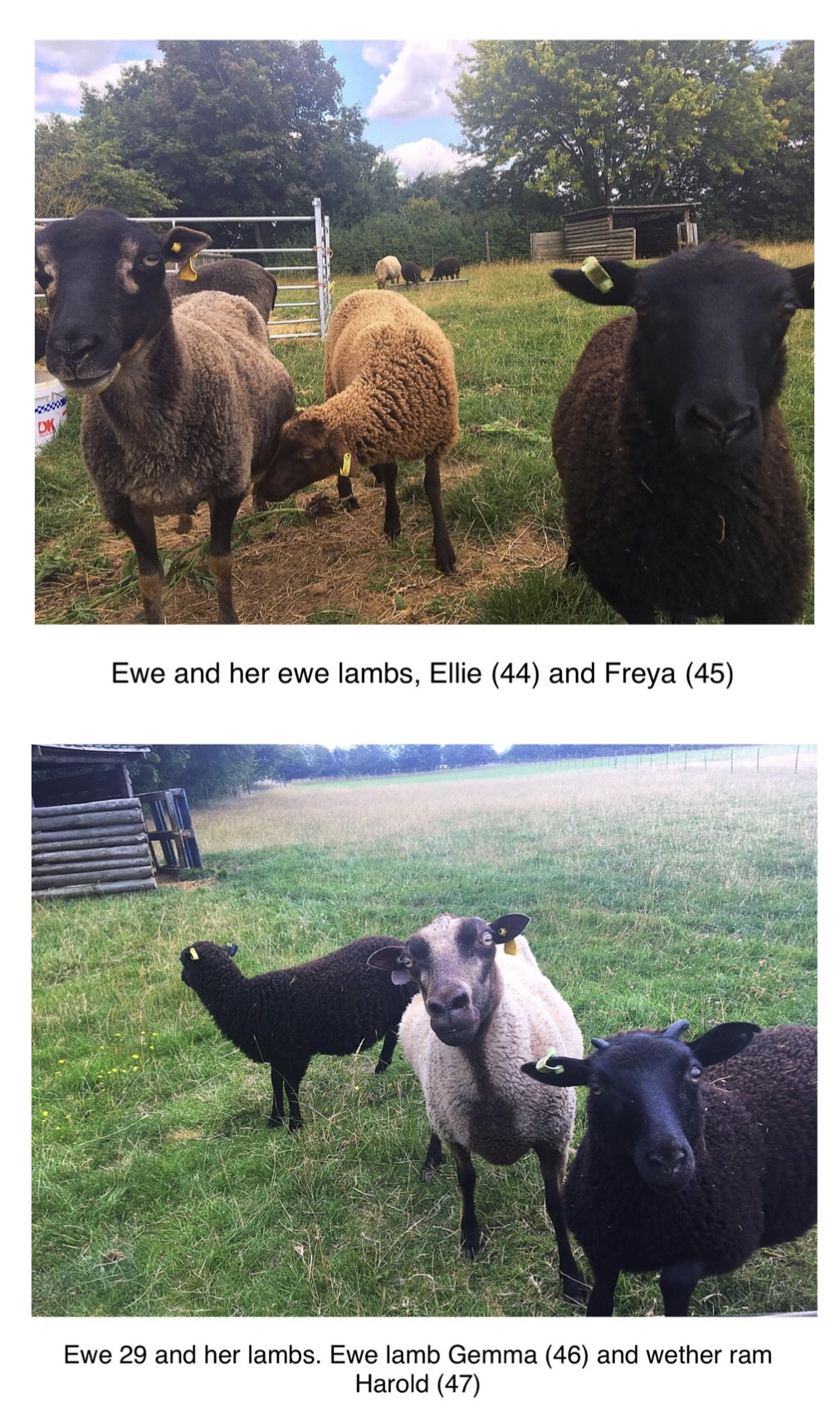 3 lovely Ewes with Lambs at foot - FOR SALE image 2