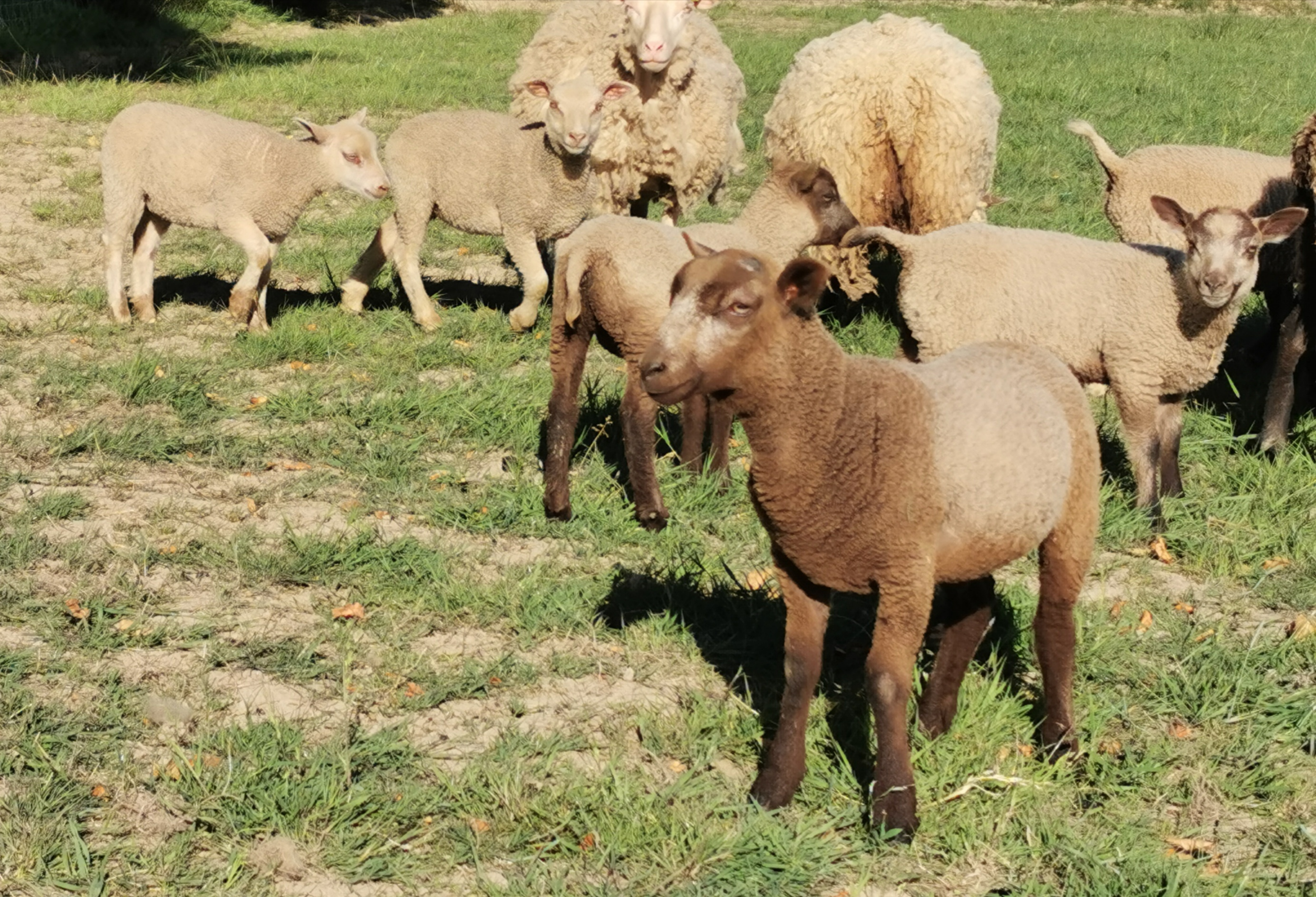 2019 Shearling Ewes and 2020 Lambs for sale image 2