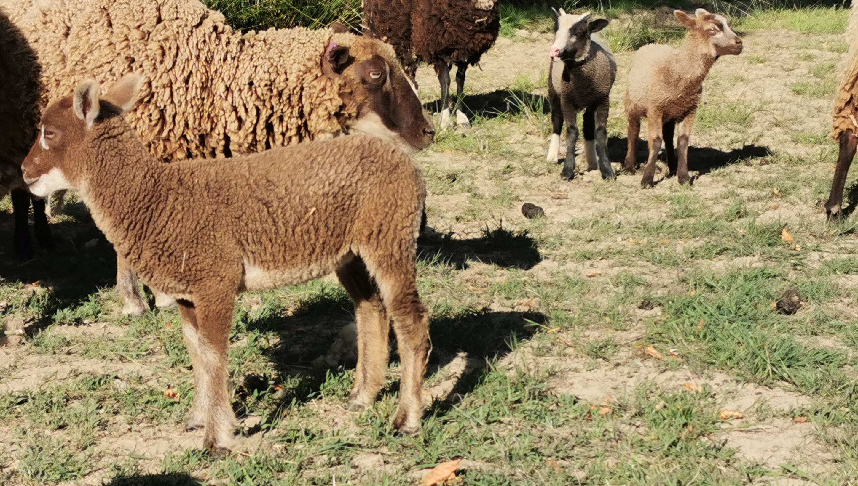 2019 Shearling Ewes and 2020 Lambs for sale image 3