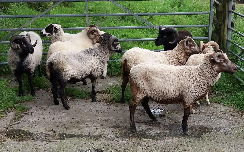 Yearling ewes and rams for sale