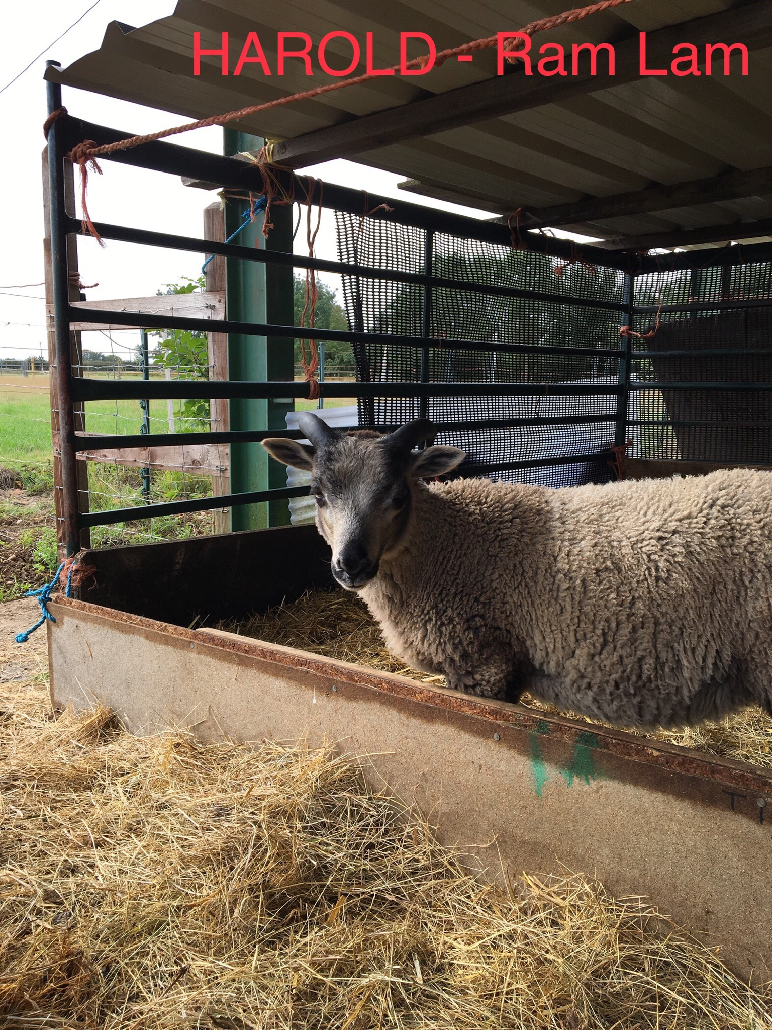 2 LAMB RAMS FOR SALE