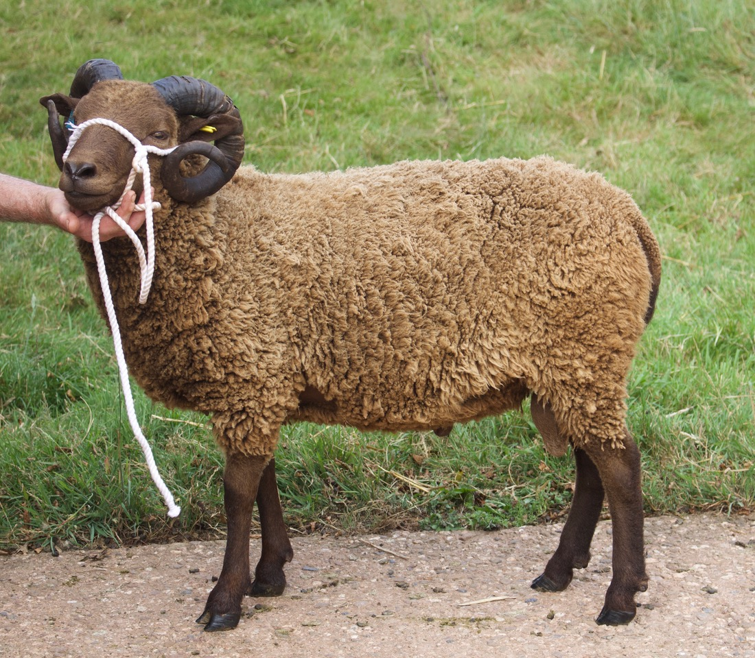 Todhill Endeavour Shearling Ram.