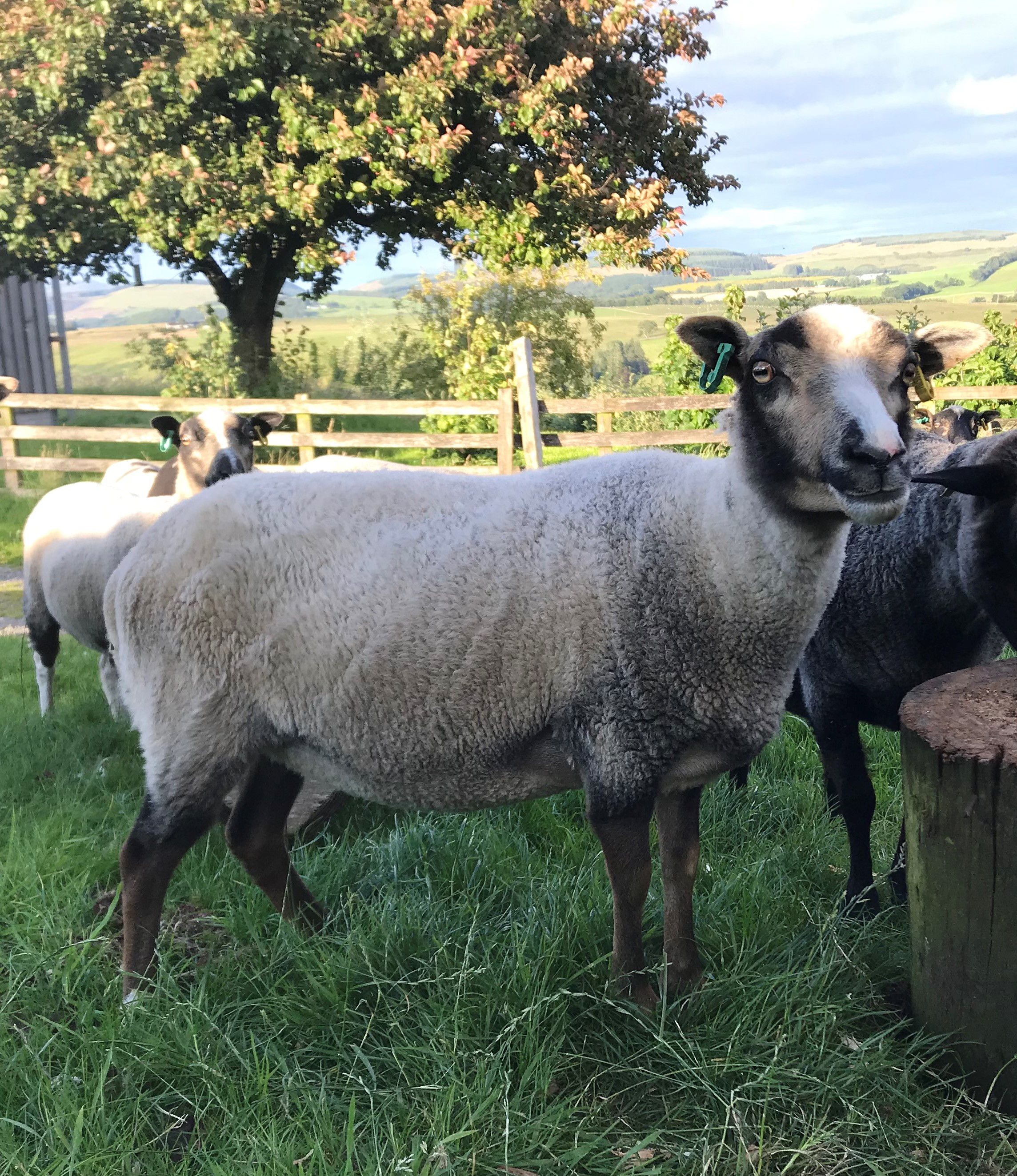 Newhall Shetlands - Ewes, Gimmers, Tups and Wethers for sale image 3