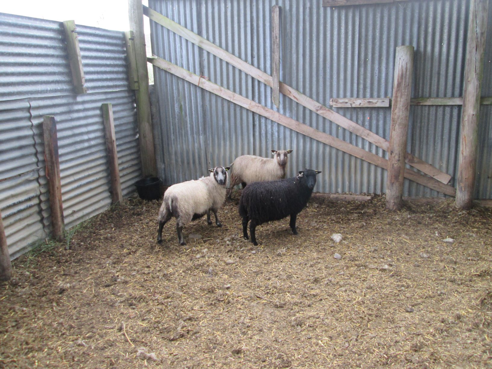 Ewe lambs x 3- mixed colours. image 2